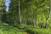 Path To Birch Forest
