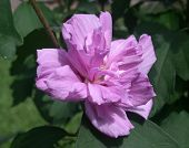 foto of rose sharon  - A gorgeous Althea