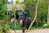 SAMUI, THAILAND - MARCH 27: Unidentified man rides elephant on March 27, 2014 in Samui, Thailand. El