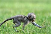 stock photo of baby-monkey  - Baby Vervet Monkeys in the National park - JPG