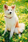 Akita Dog (akita Inu, Japanese Akita)