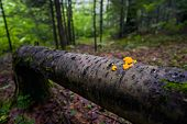 Orange Jelly Fungi on a Fallen Tree
