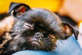 Black Dog Griffon Bruxellois (brussels, Belge)