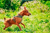 picture of miniature pinscher  - Close Up Red Dog Miniature Pinscher  - JPG