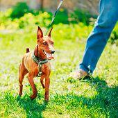 Close Up Brown Dog Miniature Pinscher Head