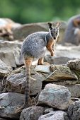 image of wallaby  - A close up shot of an Australian Rock Wallaby