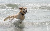 Golden Retriever Dog Swimming