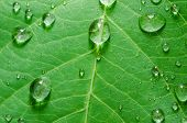 Leaf And Water Drops