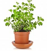 foto of origanum majorana  - fresh flavoring herbs oregano in brown flower pot isolated on white background - JPG
