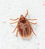 picture of ixodes  - Close up female rhipicephalus sanguineus on recycle paper background