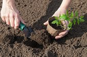 Planting Tomatoes In The Soil