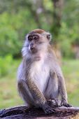 Long tailed Macaque Monkey