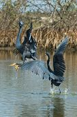 2 Western Reef Herons (egretta Gularis) Fighting For Fishing Rights
