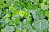 foto of english ivy  - Green leaves of English ivy - JPG