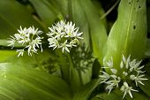 Flower Of Garlic