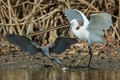 A Lucky Dark Western Reef Heron (egretta Gularis) Steal A Fish From A White Morph Reef Heron