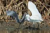 picture of good-vs-evil  - A white Western Reef Heron (Egretta gularis) grabbing a fishing line while fish escapes