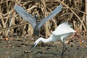 A White Western Reef Heron (egretta Gularis) Searching For A Drop Fish Before It Is Stolen