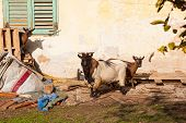 pic of headstrong  - View of Tibetan goats in the little farm - JPG