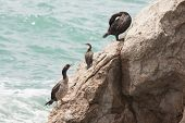 Marangoni - European Shags