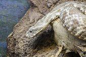 stock photo of blunt  - Head of a Levant viper  - JPG