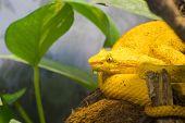 Eyelash Viper (bothriechis Schlegelii)