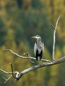 Heron On Branch.