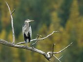 Blue Heron Perched On Branch.