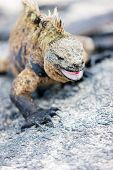 Male marine iguana, endemic of Galapagos islands, Ecuador