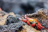 Sally lightfoot crab on a black lava rock