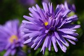 Aster with drops