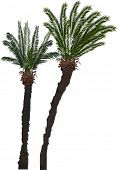 illustration with two palm trees isolated on white background