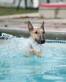 Bull Terrier Swimming