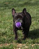 French Bulldog at the park