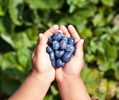 Blueberries is in the child's hands. Blurred green foliage on the background.