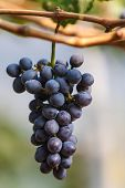 Wine Grape In Vineyard