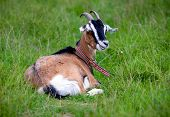 Funny rural goat on green pasture