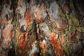 Pine cortex - abstract natural background