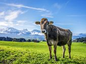 pic of bavaria  - Image of a cow on a green meadow with alps in bavaria - JPG