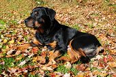 Old Rottweiler Laying In The Autumn Leaves