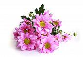 Pink Chrysanthemum - Stock Image