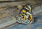 Butterfly (sephisa Dichroa)