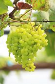 Seedless Grapes Ripen On The Tree Stock Photo