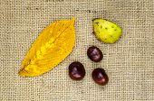 Horse Chestnuts Still Life