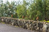 Three young roosters on the wall, Hawaii