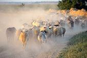 flock of sheep on dusty field in summer