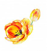 Yellow tulips isolated on white, oil painting on canvas
