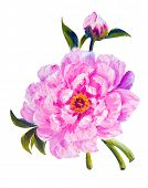 Peony isolated on white, oil painting on canvas
