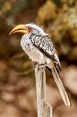 Yellow Billed Hornbill Punched On Dead Branch