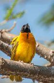 Weaver Bird In Branch